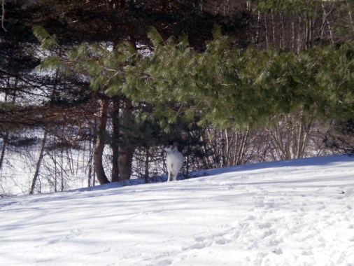 That is a White Deer under the evergreen tree branch.