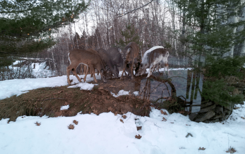 I think one deer is posing, this was shot through the porch window - there are reflections between us and the deer on the right in this photo.