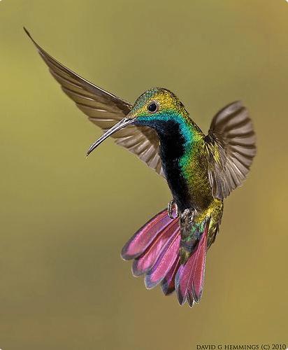 Green throated Mano Humming bird.