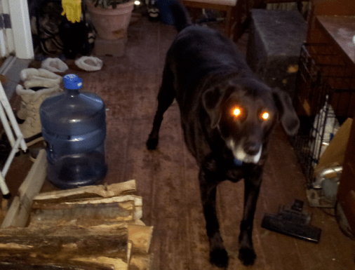 Dog with glowing yellow-white eyes reflecting flash.