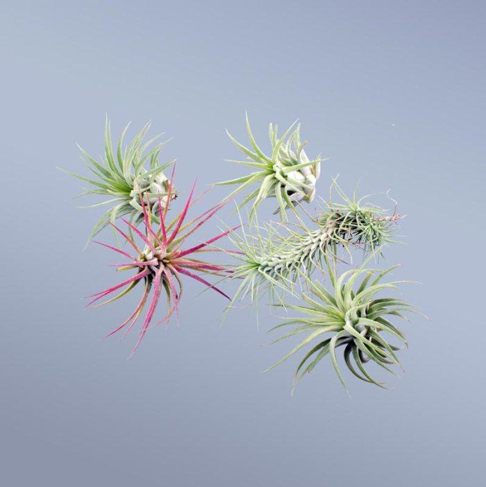 5-plante-aeriene