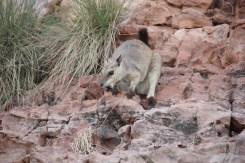 Wallaby of Lake Argyle