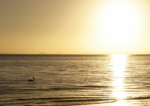 Pelican in the sunset on Moreton Island