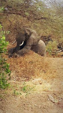 elephant resting