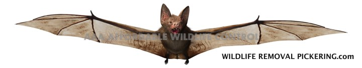Bat Removal - Wildlife Removal Pickering