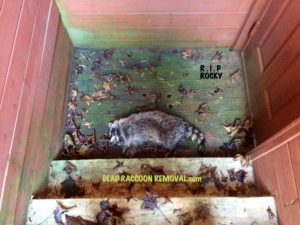 DEAD RACCOON REMOVAL - Dead Animal Removal Toronto