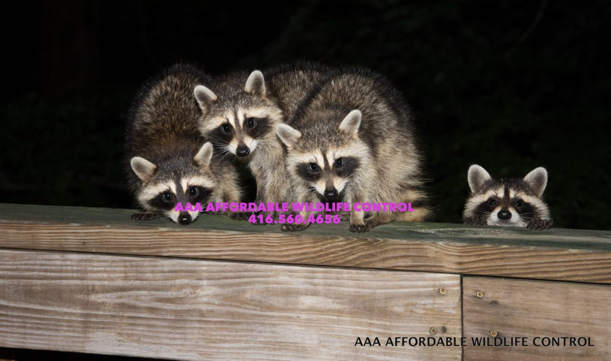 Encouraging Raccoons to Leave - Control & Removal Service in Toronto.