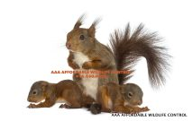 baby squirrels Removal, Squirrel Removal - Affordable Wildlife Control Toronto