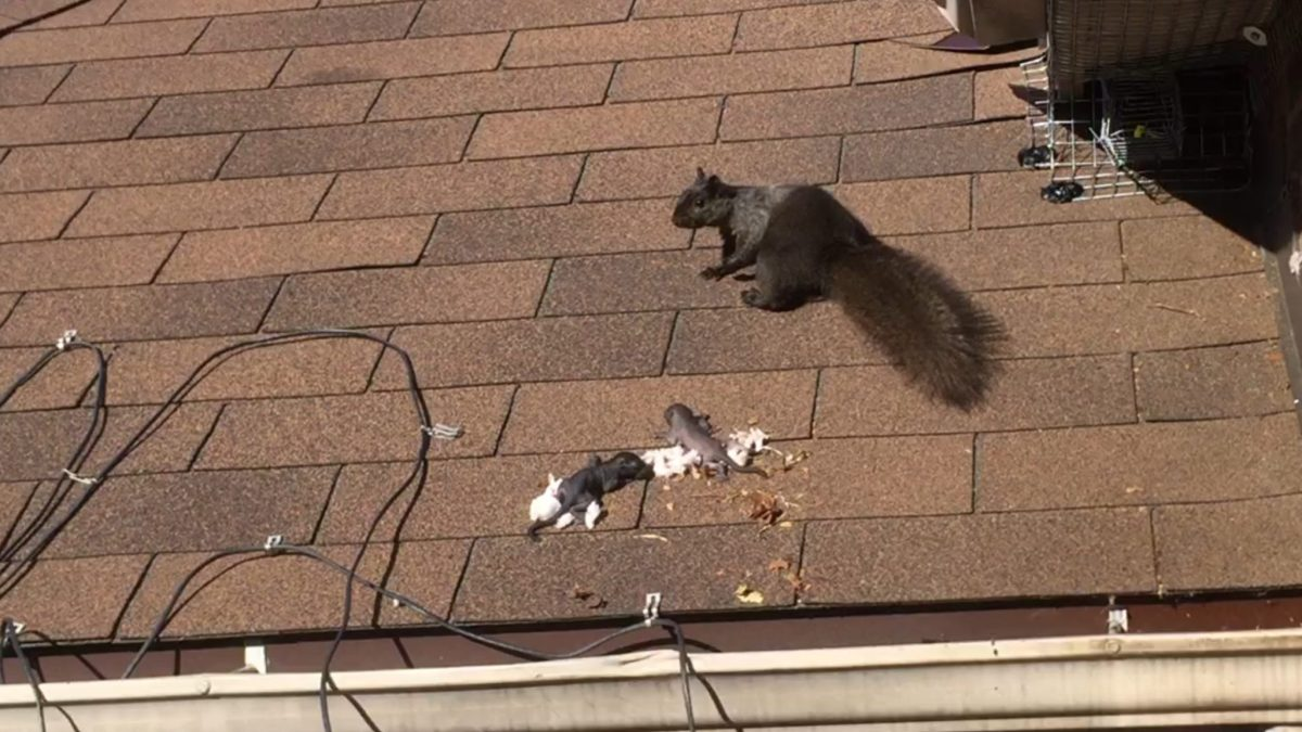 Mother Squirrel Relocates Babies - Squirrel Baby Removal Toronto