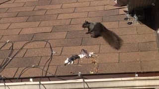 Mother Squirrel Relocates her Babies - Humane Squirrel Baby Removal Toronto