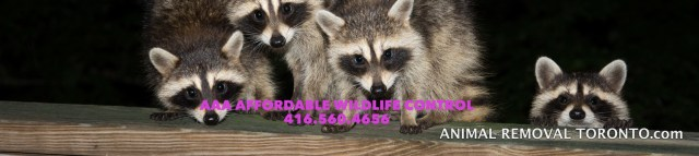 Raccoon Removal Brampton, Skunk Removal Brampton, Squirrel Removal Brampton, Bird Removal Brampton Ontario. AAA Affordable Wildlife Control