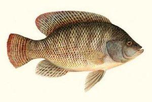 تربية أسماك البلطي