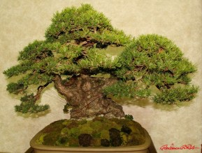 DSC_6854 bonsai - afnews