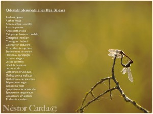 Llistat d'espècies observades a les Illes Balears (fotografia realitzada a l'Albufera de Mallorca)