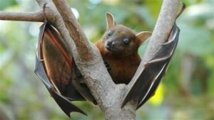 Pipistrello della frutta