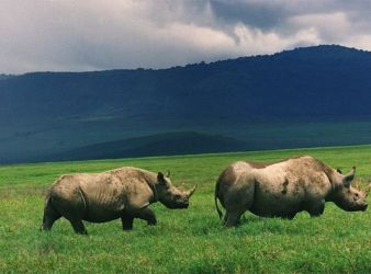 Black rhinos in Ngorongoro crater, Tanzania