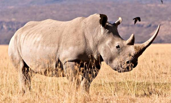 withe-rhino