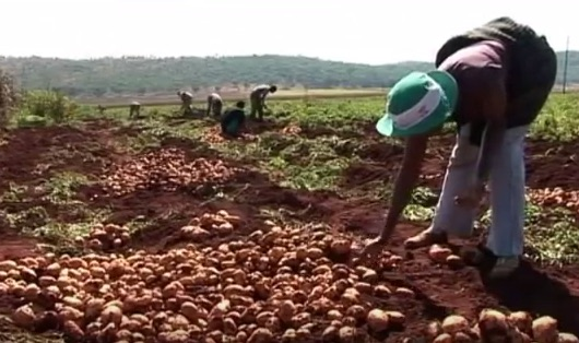 Zimbabwe, raccolta delle patate