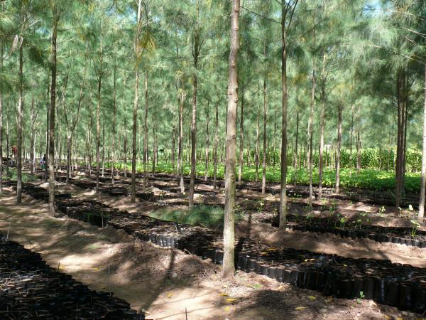 I filari della novella Jatropha alternati ai giovani alberi di casuarina