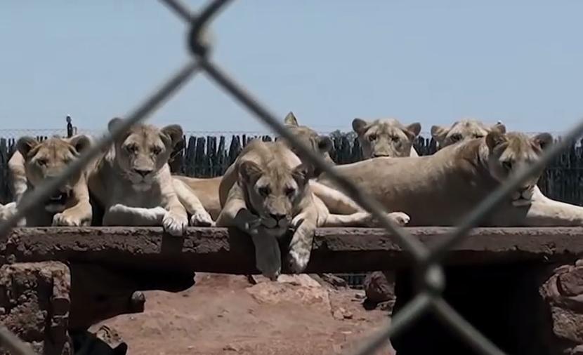 Leoni in cattività in un allevamento sudafricano (Courtesy Blood Lions®)