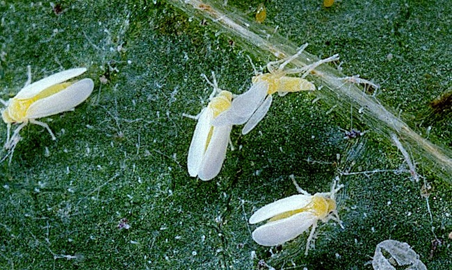La mosca bianca (Bemisia argentifolii), uno degli insetti dannosi che distruggono gli ortaggi