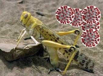 Locusta del deserto mentre depone le uova e virus Covid-19