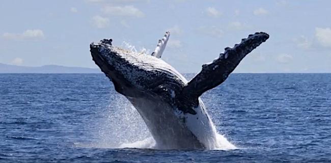 Una megattera, nel Canale del Mozambico. Le balene potrebbero essere in pericolo a causa dello sfuttamento dei giacimenti di gas a Cabo Delgado