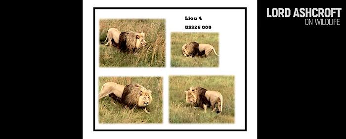 Il trofeo costa 25.000 USD dal listino di un allevamento di leoni (Courtesy Lord Ashcroft/Lord Ashcroft on Wildlife)