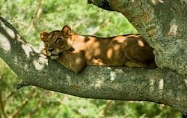 leoni avvelenati leonessa su albero