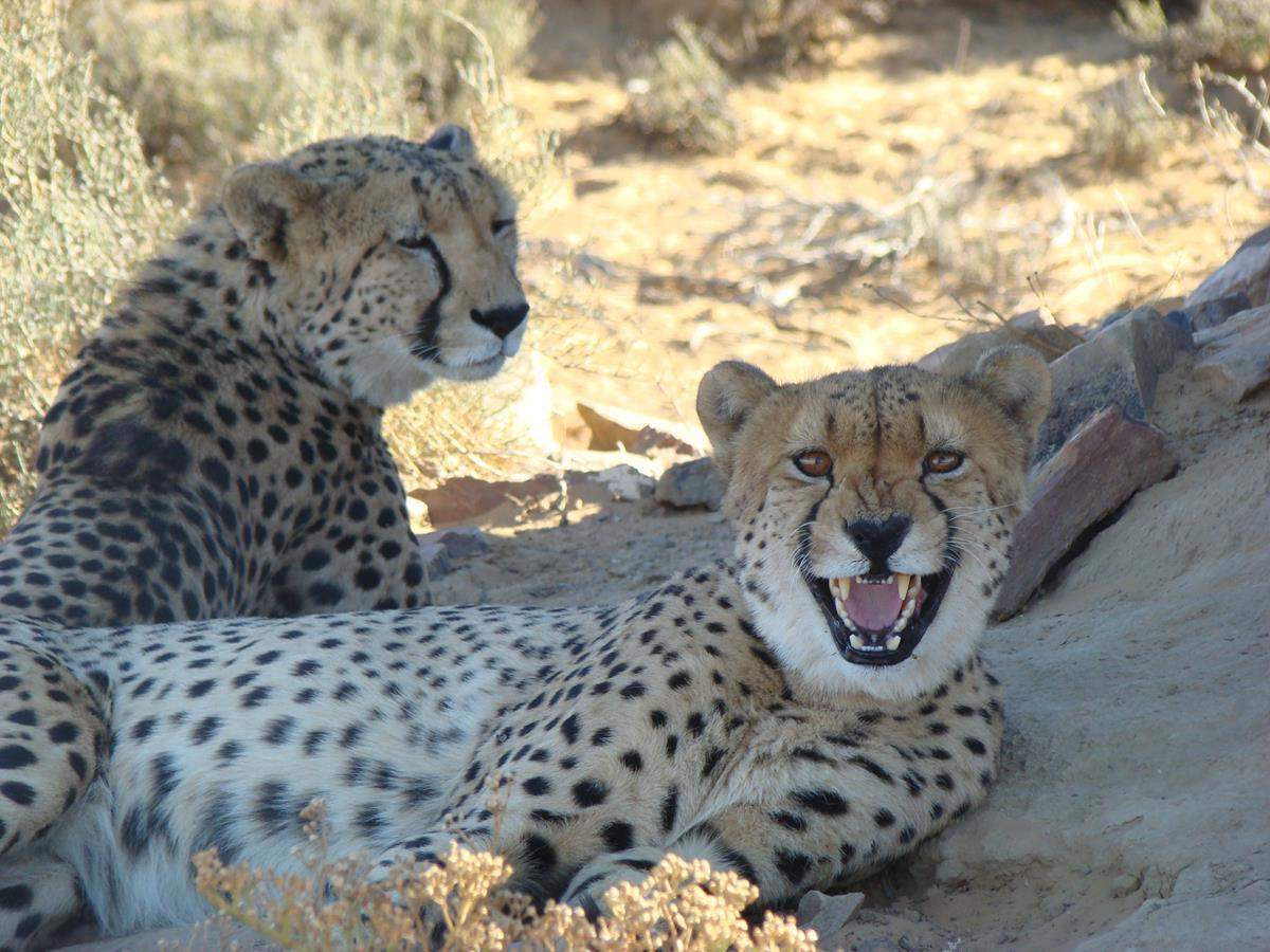 Cheetahs resting under a tree at Inverdoorn Game Reserve