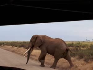 Elephant Of The Amboseli National Park