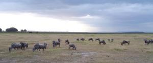 Wildebeast In Amboseli