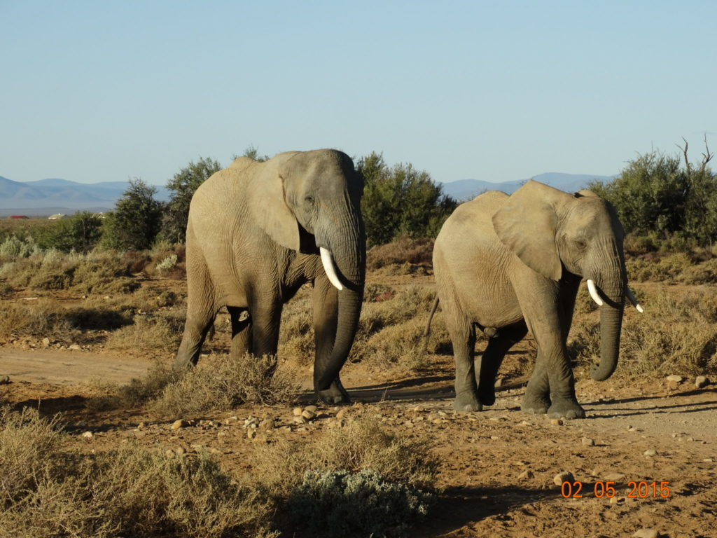 Elephant in the Karoo