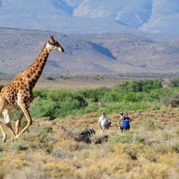 Giraffe in the Wild spotted on the Explorer Walking Safari