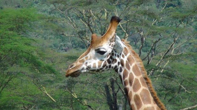 The beautiful Rothschild Giraffe seen in Nakuru National Park, Kenya.