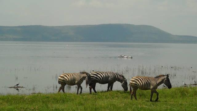 Zebra and Pelicans at Lake Nakuru