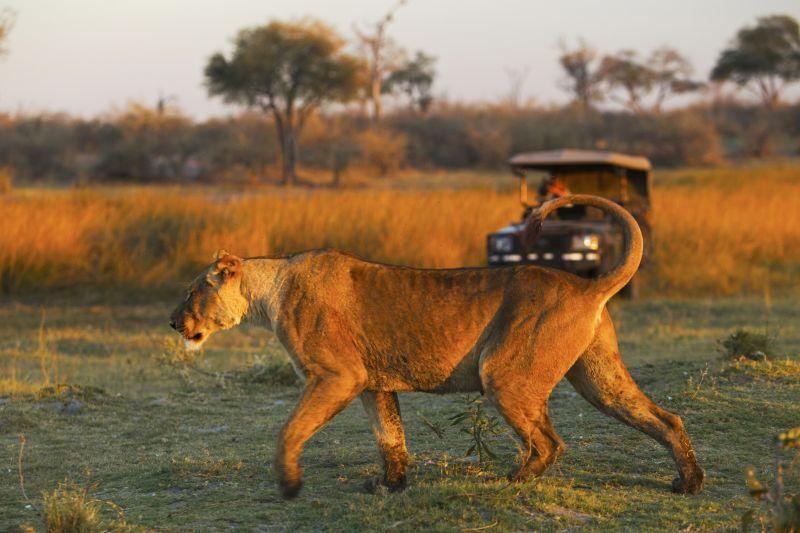 Lioness on the prowl in Okavango Delta