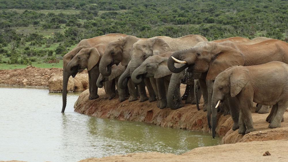 Elephants at the drinking hole.