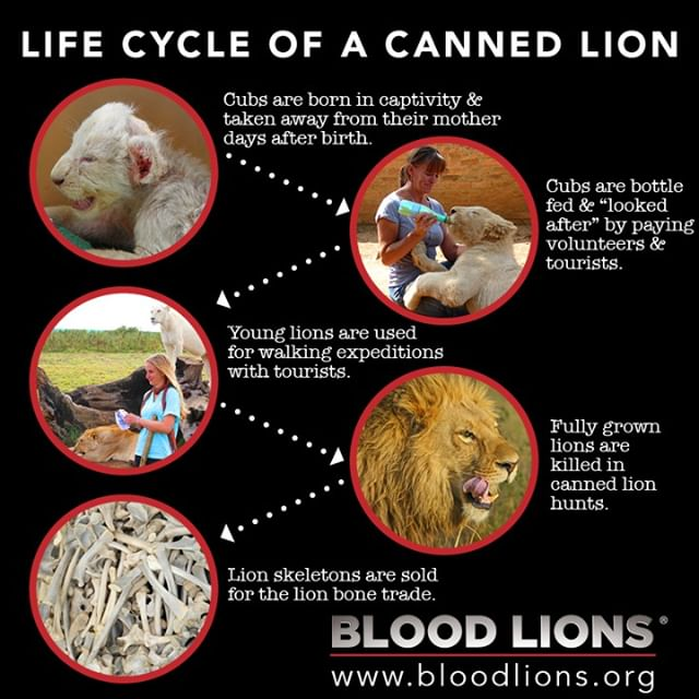 Life cycle of a canned Lion hunting cub from birth to bones.