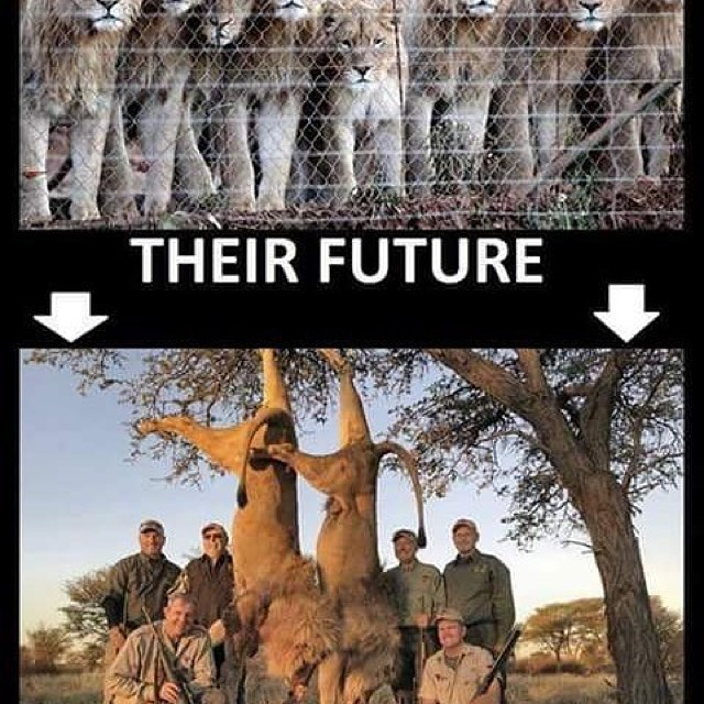 The sick trade of Canned Lion Hunting.