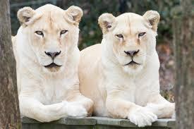 White Lionesses in captivity