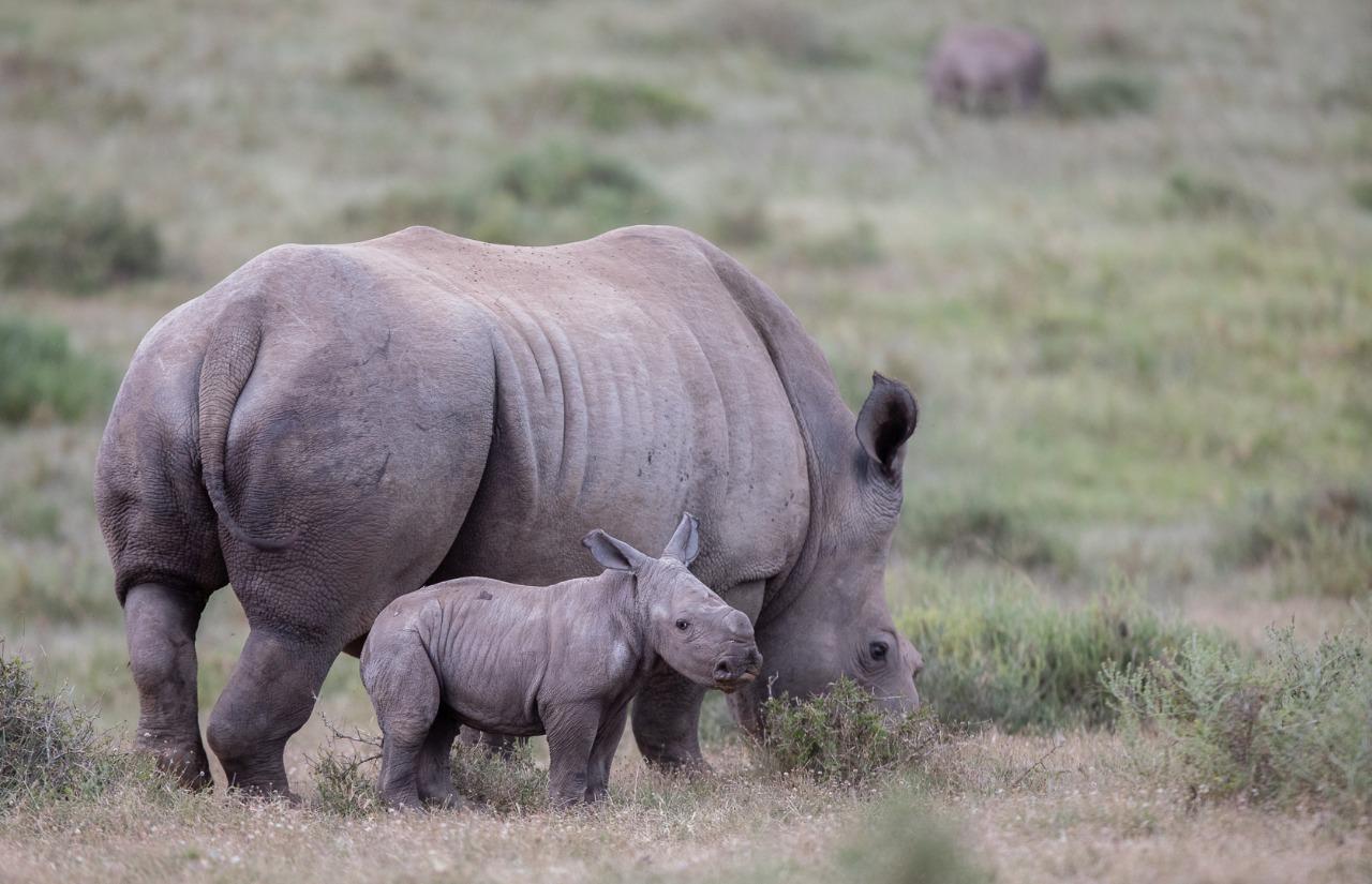 Thandi White Rhino And Calf