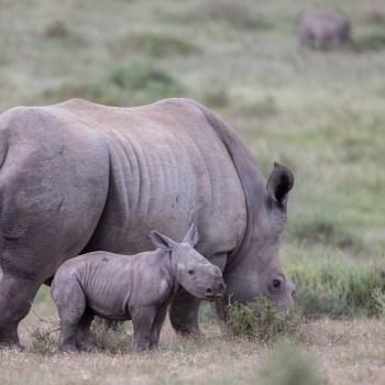 The Amazing Survival Of The Rhino, Thandi