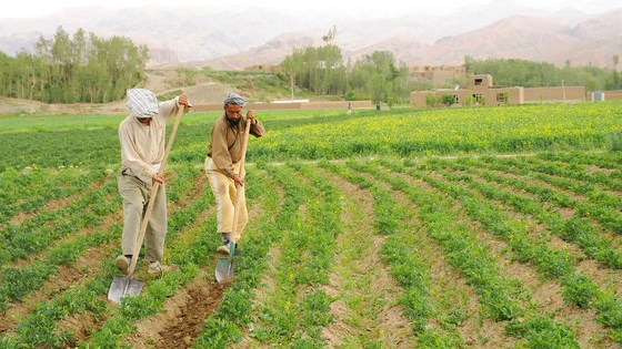 Farmers cultivate potatoes in Bamyan, Afghanistan. Without urgent support, farmers and pastoralists could lose their livelihoods and be forced to leave rural areas