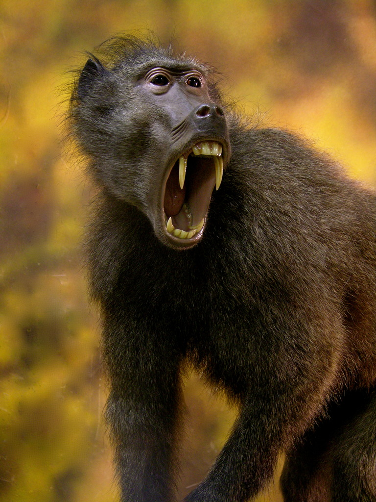 Baboon Taxidermy Pictures Hunting