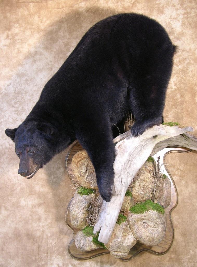 Taxidermy It Is Bear Season  Hunting
