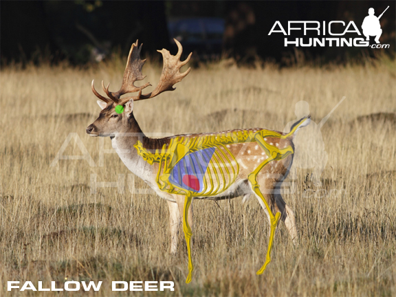 whitetail deer shot placement diagram 1996 grand cherokee stereo wiring hunting fallow  
