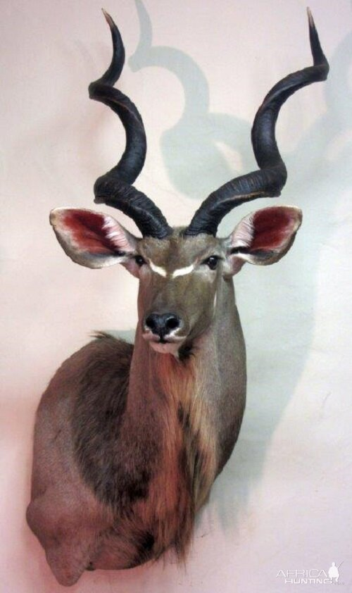 Kudu Shoulder Mount Taxidermy  Hunting