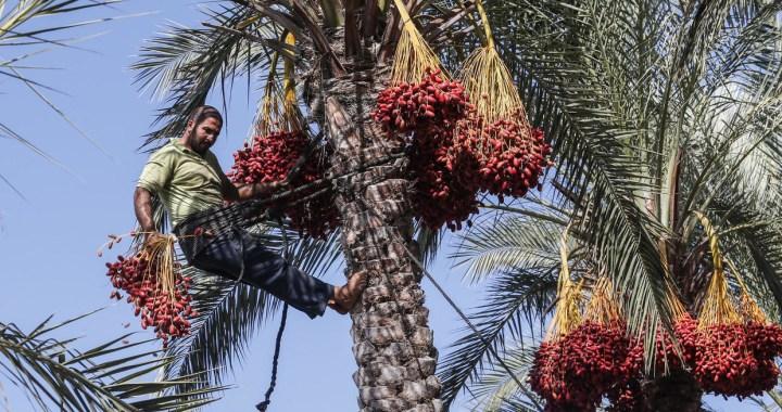 Le palmier dattier, symbole des civilisations du monde arabe