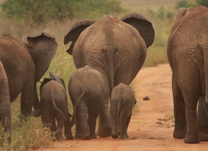 elephant-family-in-Tanzania